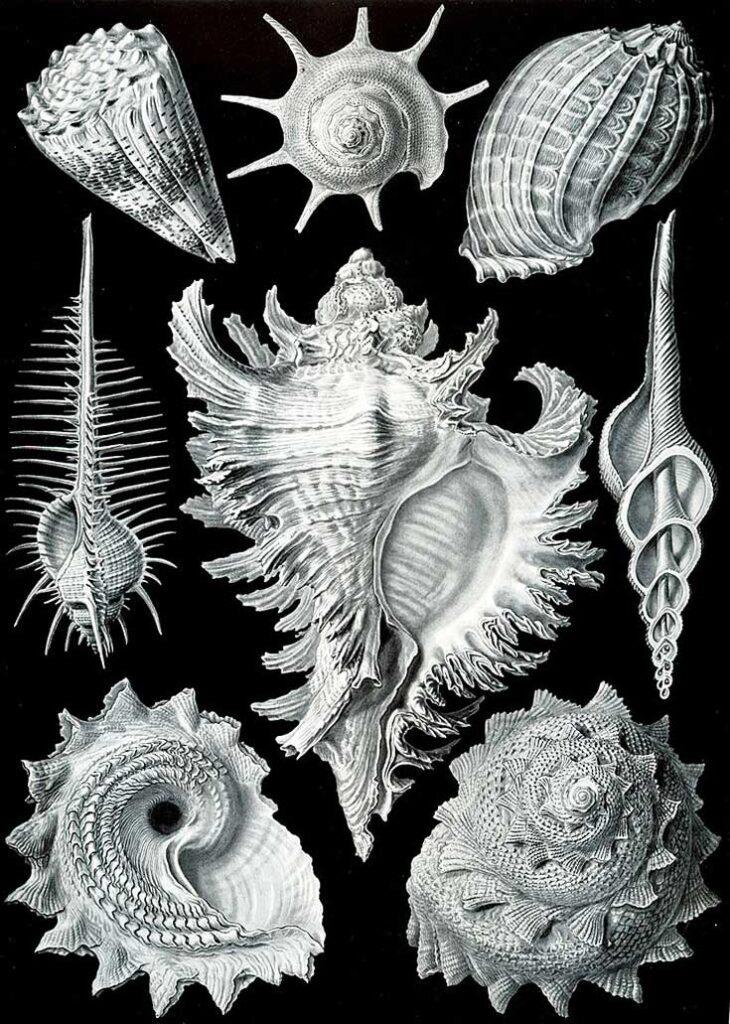 Haeckel Prosobranchia