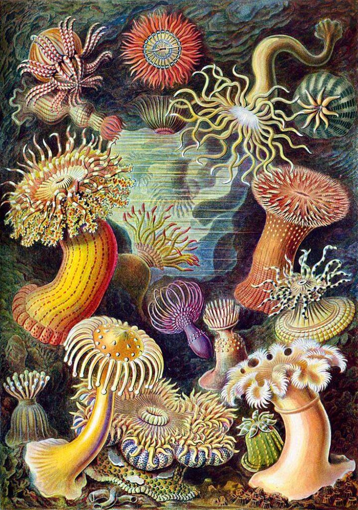 Haeckel Actiniae