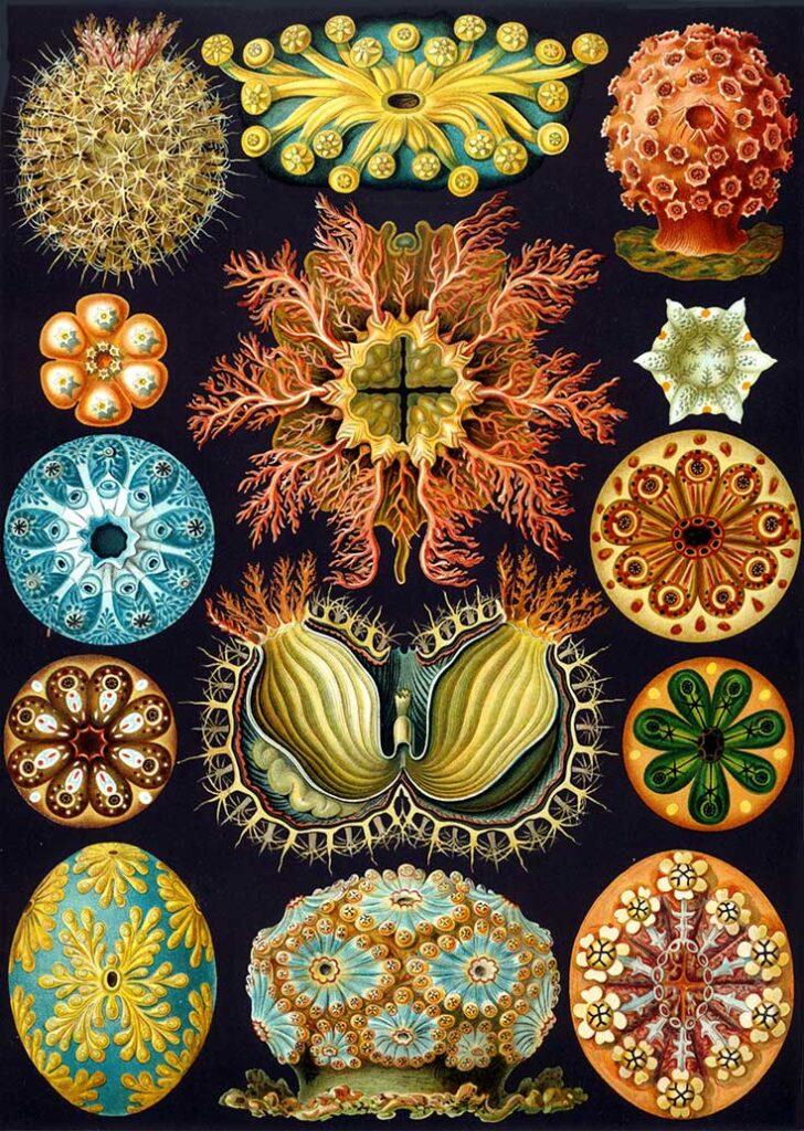 Haeckel Ascidiae