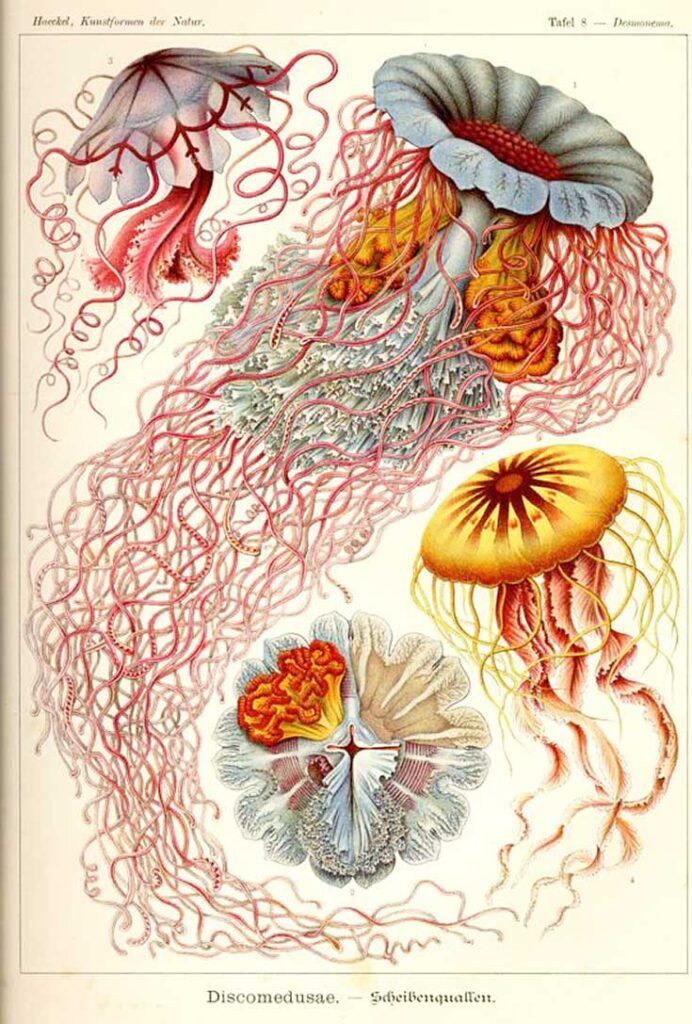 Haeckel_Discomedusae