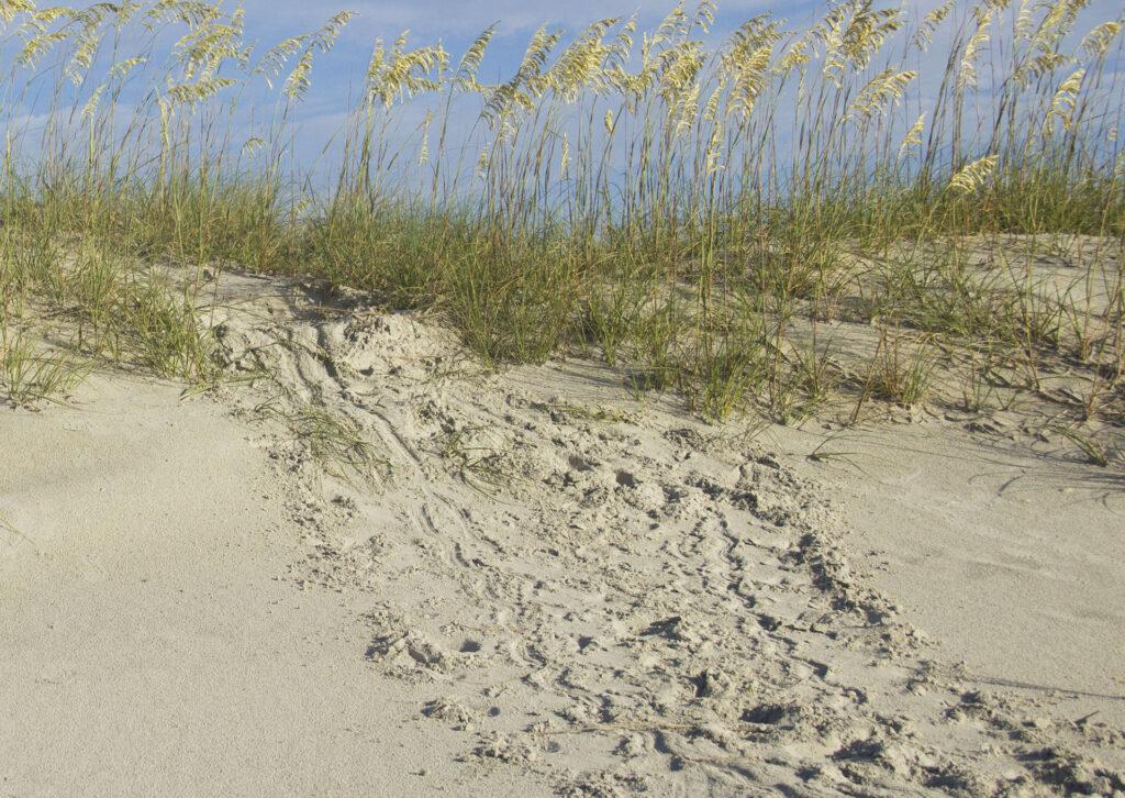 sea turtle nest Masonboro Island