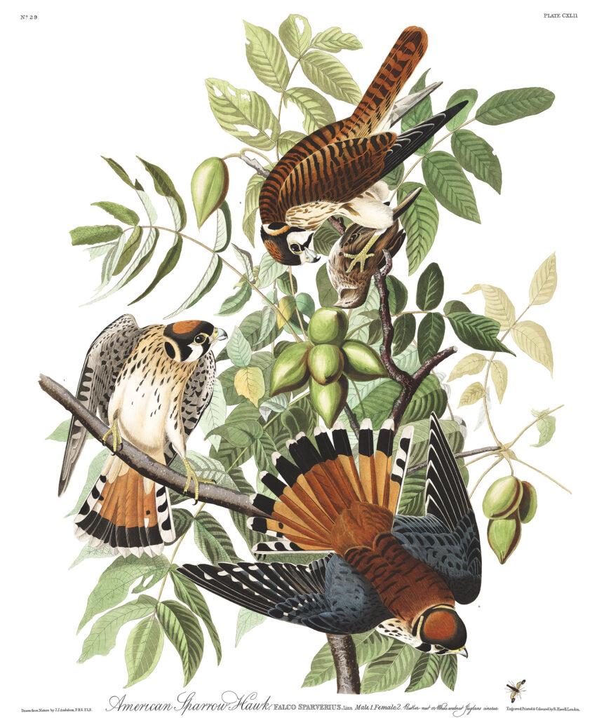 Audubon-American-Sparrow-Hawk