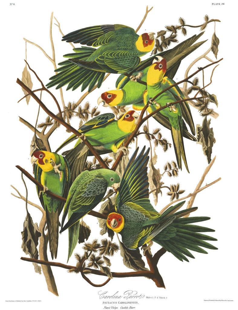 Audubon-Carolina-Parrot