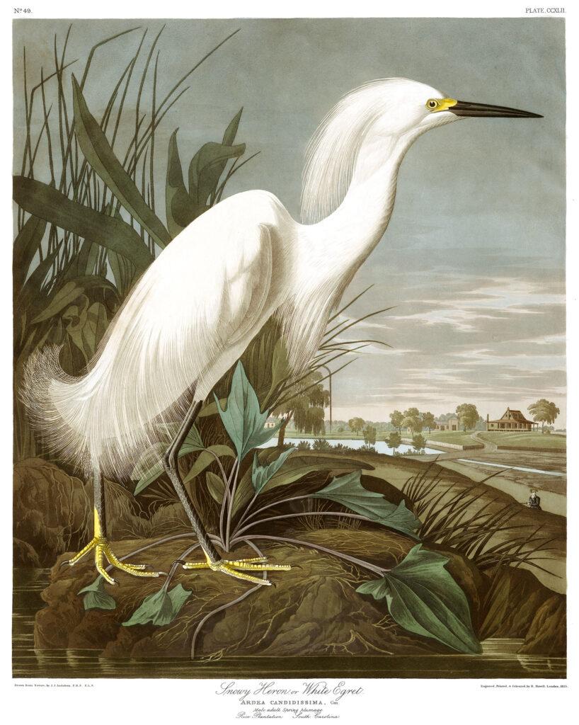 Audubon-snowy-heron